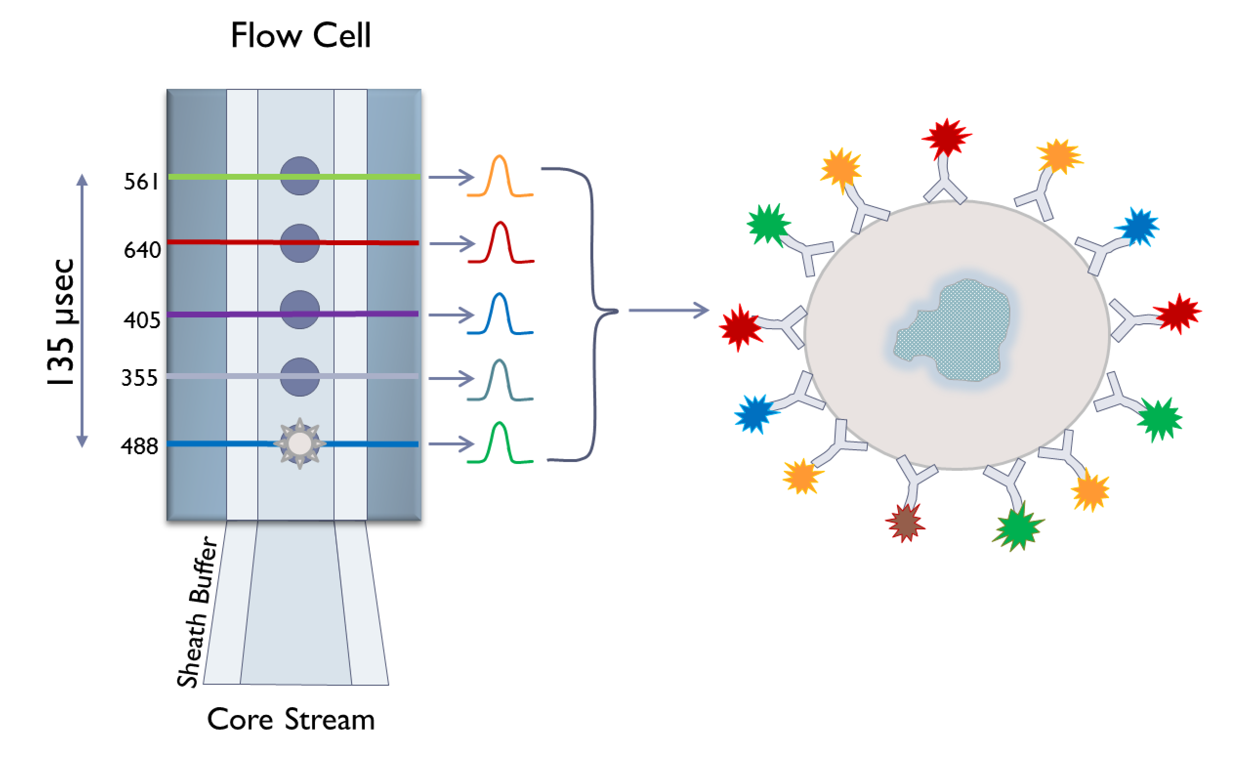 figure 2 as a cell moves through the flow cell it may encounter one or more lasers fluorophores excited by their corresponding lasers are excited and